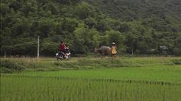 Farmer walking the bull in rice fields of Sapa Mai Chau Vietnam Footage