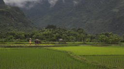 Vietnamese farmer shepherd walking the bull in rice fields of Sapa Mai Chau Viet Footage