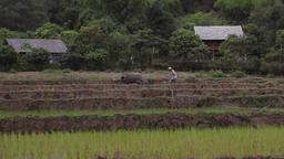 Vietnamese farmer ploughing a rice field with a bull in Sapa Mai Chau Vietnam Footage