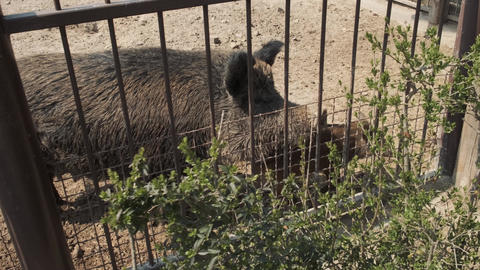 Wild boar with piglets behind the fence at the zoo. Animals in captivity concept Live Action