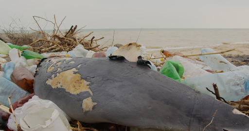 Dead young dolphin on the sea shore. Plastic garbage environmental pollution Live Action