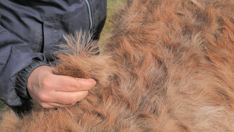Woman combs winter fur of brown pony with fingers. Brown horse skin during spring molting. Hand hold Live Action