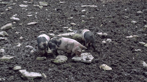 Saddleback piglets playing in a muddy pig pen Live Action