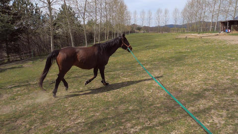 Trainer check condition of old brown horse on lunge string. Regular lunging of old horses keep their Live Action