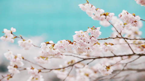 Spring landscape of Korea with cherry blossoms Live Action
