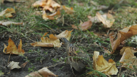 Tiny sparrow looking for food, jumping in green grass. Environmental protection Footage
