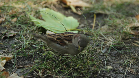 Closeup shot of funny little sparrow picking grass seeds in city park. Ecology Footage