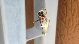 Spider Wrapping its Prey Footage