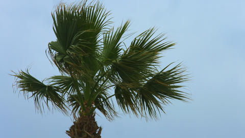 Exotic palm tree waving in wind. Stormy weather at resort. Tropical hurricane Footage