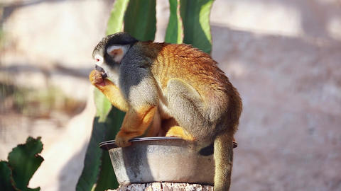 Squirrel Monkeys Eating Footage