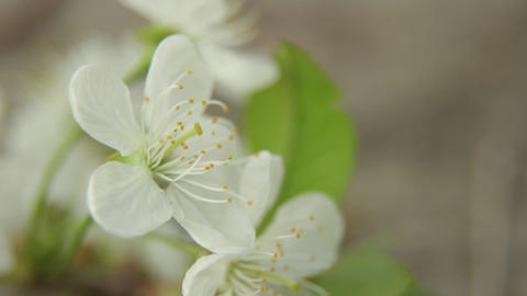 Branches of cherry blossoms in spring. Blooming cherry in spring Live Action
