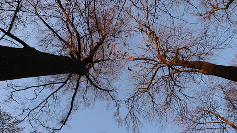 Two trees crown branches silhouettes against the forest sky background. Bottom view Live Action