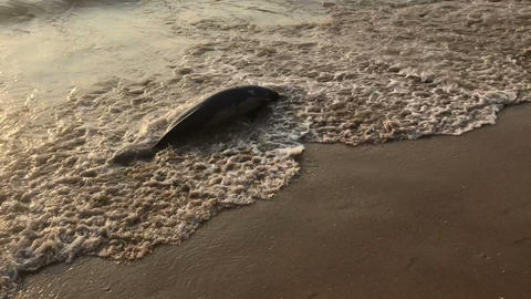 poor young dolphin laying dead on the beach, indian seaside, ecological Live Action
