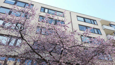 Cherry Blossom Outside White Apartment Building, Dolly Shot Live Action