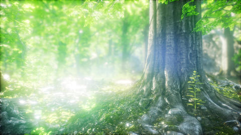 Sunbeams Shining through Natural Forest of Beech Trees Live Action