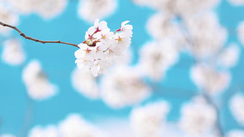 4K Spring scenery of Korea with white cherry blossoms, flower background Live Action