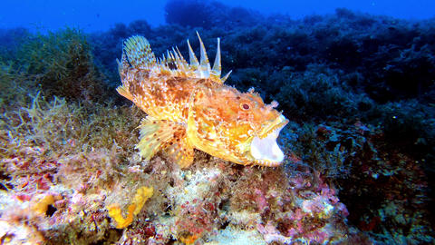 Wildlife underwater - Red scorpionfish yawning - Scuba diving in Majorca Spain Live Action