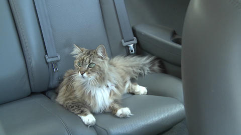 A Maine coon cat sits in the backseat of a car Stock Video Footage