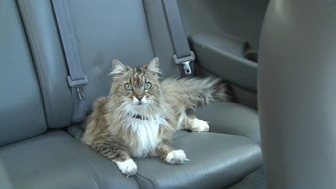 A Maine coon cat sits in the backseat of a car Footage