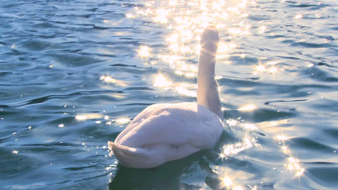 A white swan swims on sparkling water in a lake Stock Video Footage