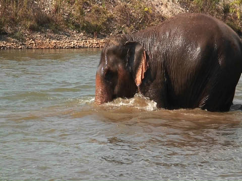 Elephants walk and bathe in some water, and someone... Stock Video Footage
