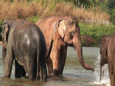 Elephants walk in the water as a man splashes water on... Stock Video Footage