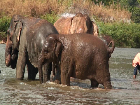 Elephants walk in the water as a man splashes water on them with a bucket Footage