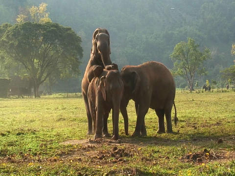 One elephant mounts another in an open field Footage