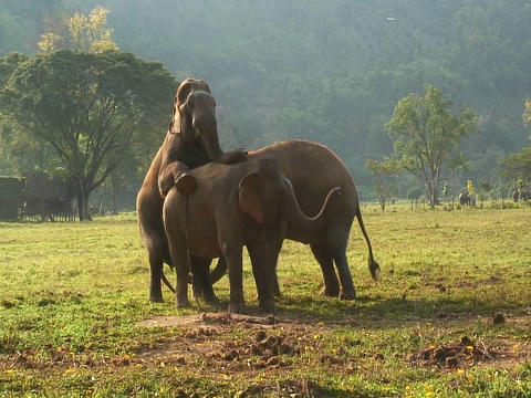 One elephant mounts another in an open field Stock Video Footage