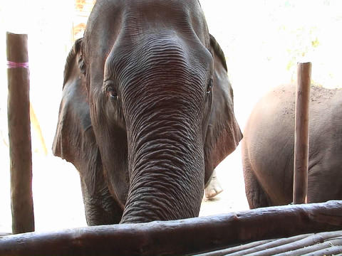 Elephants come up to a fence and one is given a banana to... Stock Video Footage