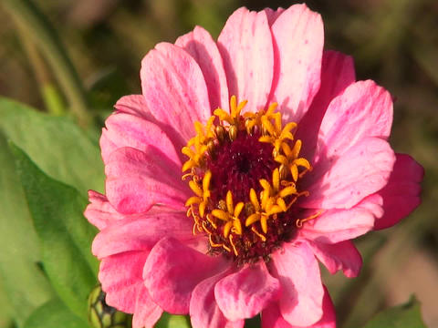 A pink flower moves ever so slightly with a light breeze Stock Video Footage