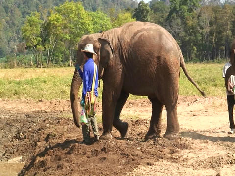 A man feeds one elephant out of three in a field Stock Video Footage