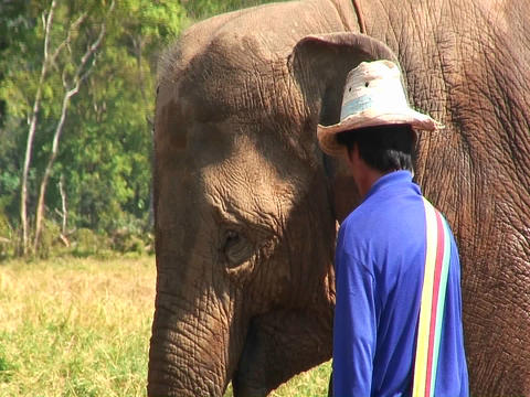A man feeds one elephant out of three in a field Footage