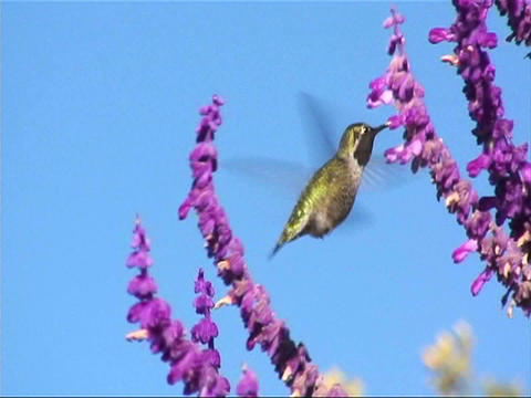 A humming bird gathers nectar from purple flowers Stock Video Footage