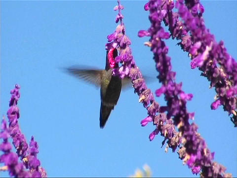 A humming bird gathers nectar from purple flowers Footage