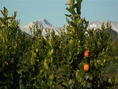 Bushes bearing orange fruit sit in view of snowcapped mountains Footage