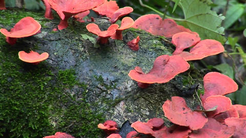 A red fungus grows on a mossy log Stock Video Footage