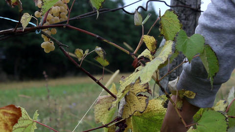 Picking noah grapes in field Footage