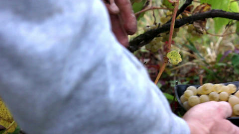 Picking noah grapes Vitis X labruscana Footage