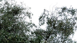 Olive branches in the wind that foretells a storm of summer seaside 26 Footage