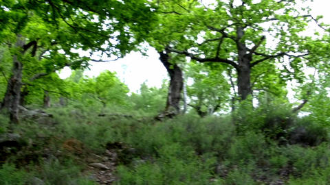 Panorama in an old beech forest with rare trees and ground vegetation 39p Live Action