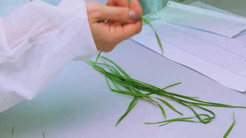 Phytopathological laboratory. Researcher examines wheat leaf Live Action