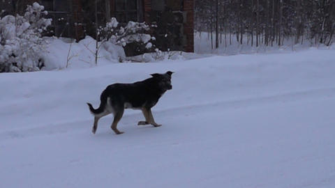 Black dog running on white snow background, Live Action