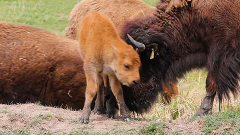 Small cute bison calf walking on meadow pasture with mother cow Live Action