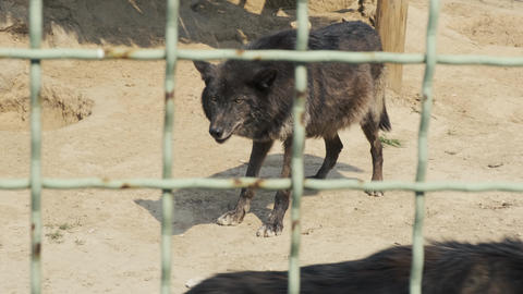 Black wolves behind the cage of the zoo. Pregnant wolf is waiting for whelp Live Action