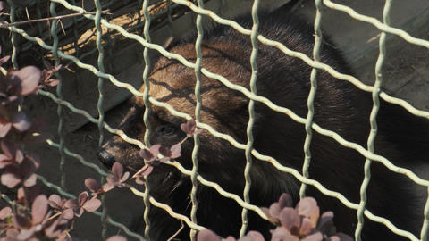 Sad wolverine behind a zoo cage. Gulo gulo glutton beast. Animal in captivity Live Action