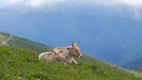 Cow and calf. Ridge Aibga. Sochi, Russia Footage