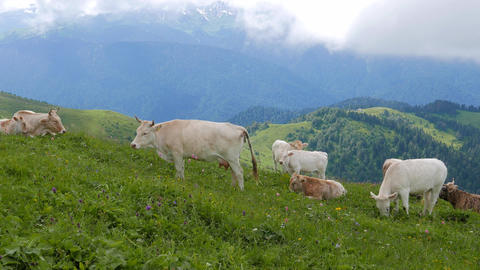 Cows graze on the mountain meadows. Ridge Aibga. Sochi, Russia Footage