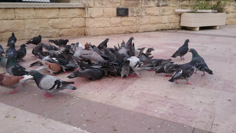 Pigeons pick garbage in city street, dangerous disease carriers in public place Footage