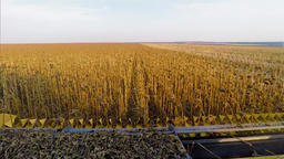 POV view harvester combine cabin 4k high speed video: cropping sunflowers farm Footage